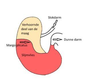 De anatomie van de maag