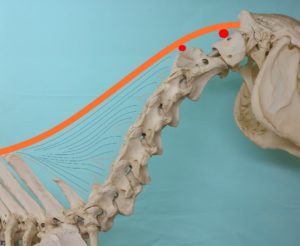 De anatomie van de hals