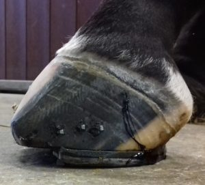 Voorbeeld van een open teen ijzer bij een hoefbevangen paard