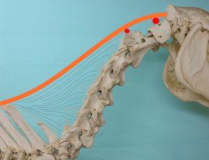 Anatomie hals en nekband