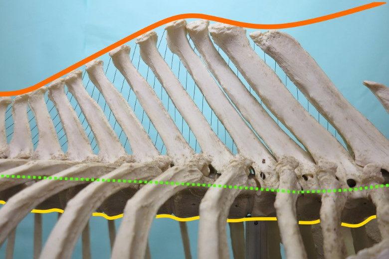 Anatomie van de rug