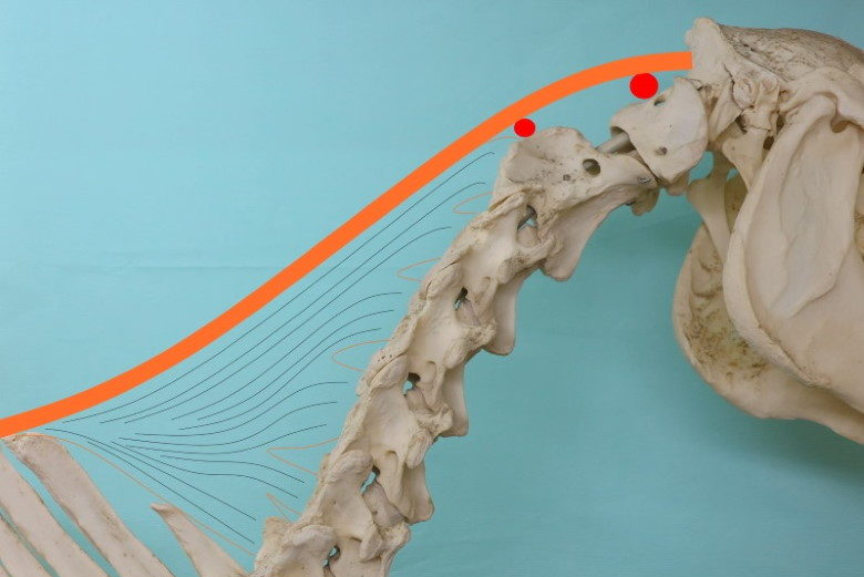 Anatomie van de hals
