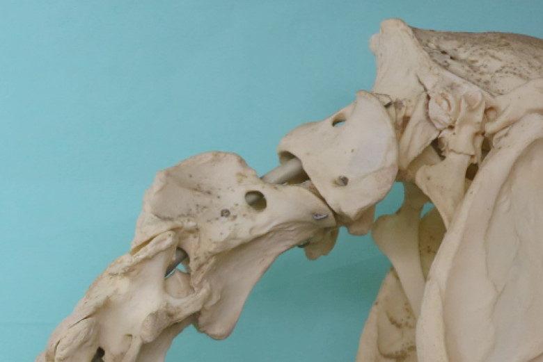 Halsproblemen bij het paard: aanhechtingsproblemen van de nekband